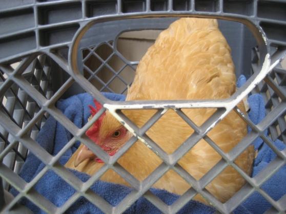 chickens 028