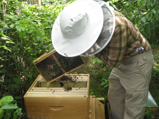 Pouring the bees into their new home