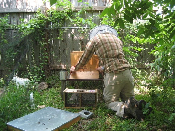 Letting the others find their way into the hive and prepping for bee dinner