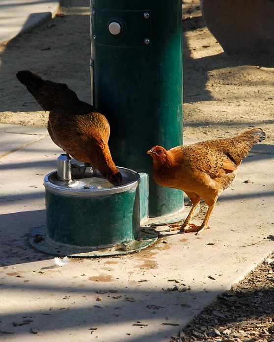 chickenwaterer